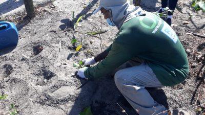 Vegetação de restinga da Orla da Barra e Recreio é recuperada